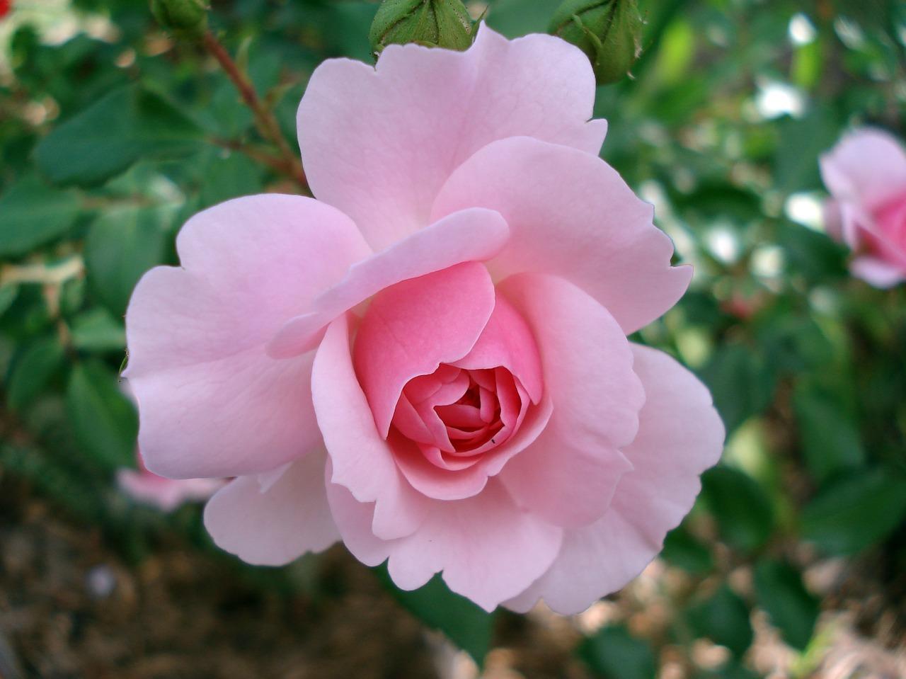 Etwas Neues genug Rosen düngen: Der beste Zeitpunkt und gute Hausmittel - Utopia.de @TC_37