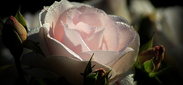 rosen düngen