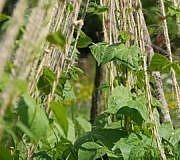 Bohnen pflanzen