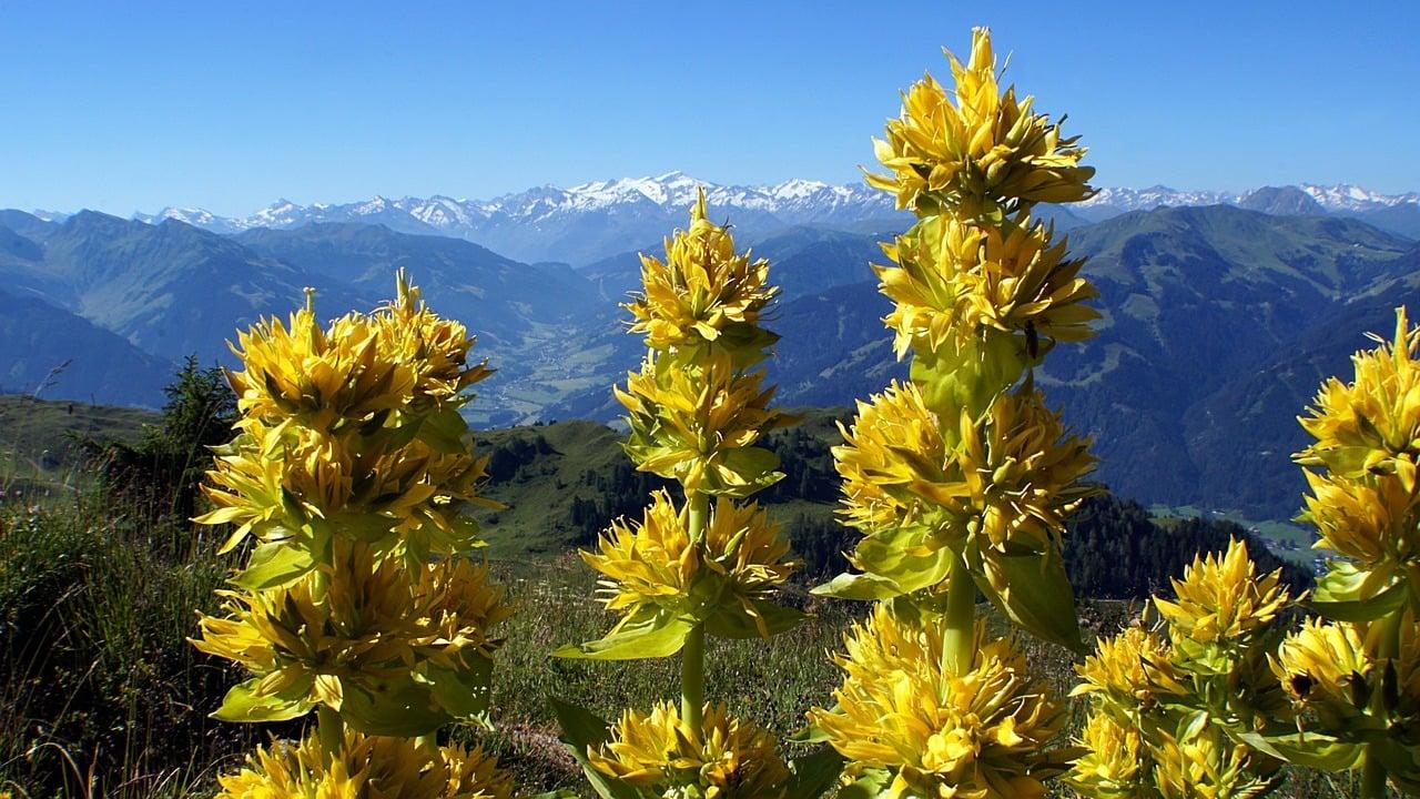 Gelber Enzian: So pflanzt, erntest und verwendest du das Heilkraut