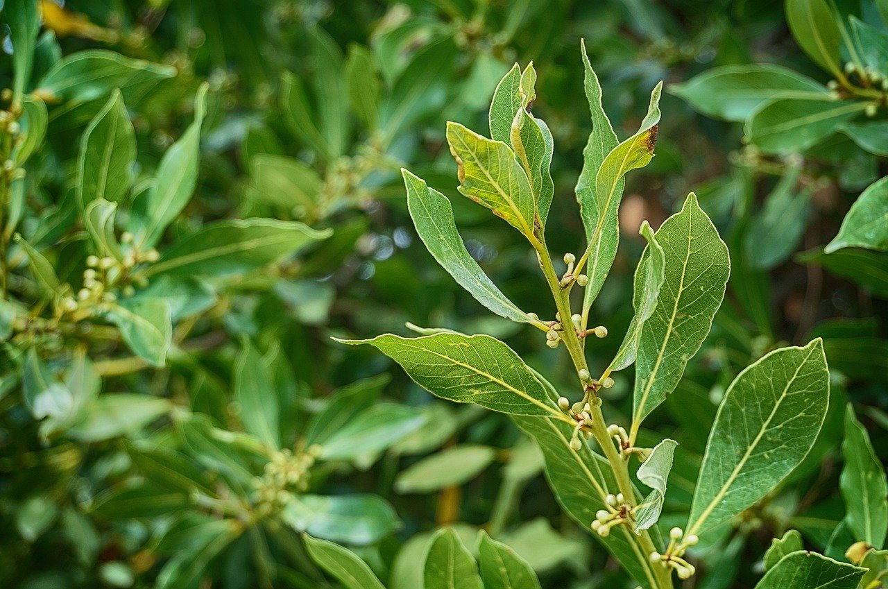 Der Avocado-Blatt-Tee wird zum Abnehmen verwendet