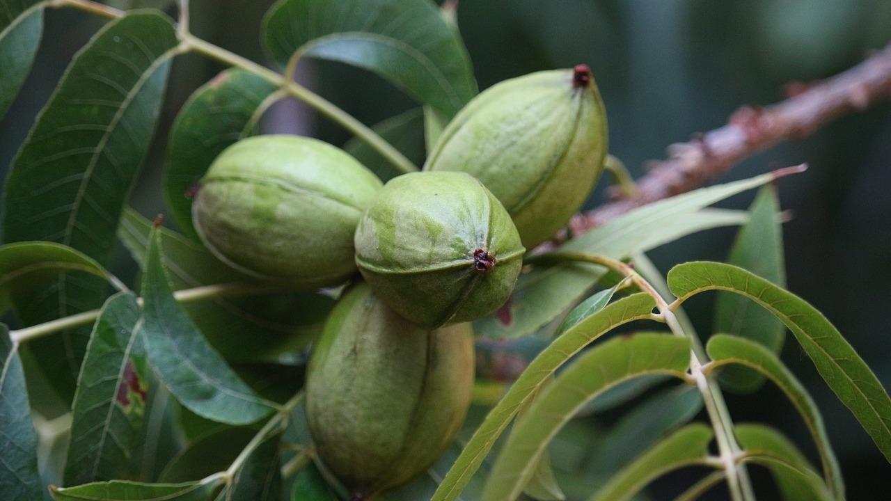 Schwarze Nüsse: Rezept für eingelegte Walnüsse