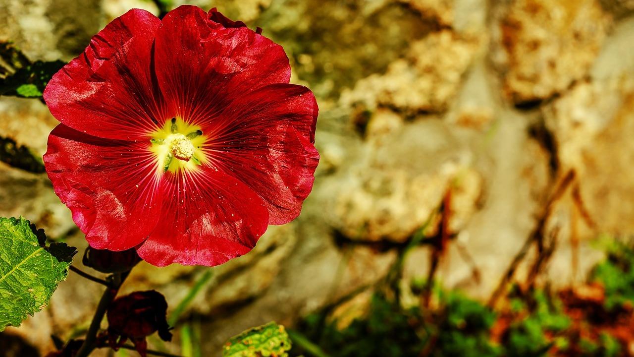 Stockrosen pflanzen: Tipps zu Aussaat, Standort und Pflege
