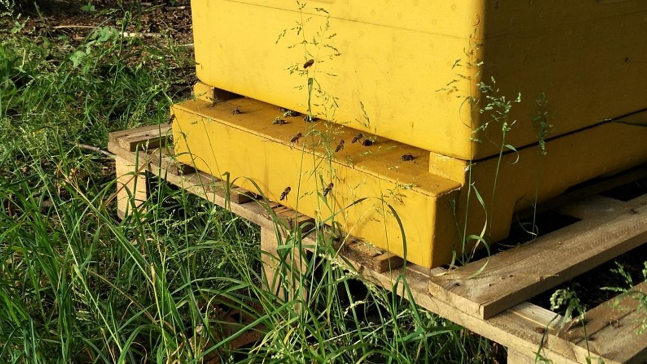 Varroamilbe: Warum sie so gefährlich für Bienen ist