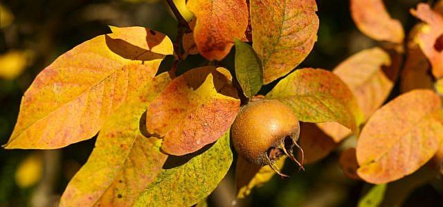 mispel frucht