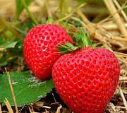 Erdbeeren düngen