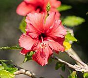 hibiskus überwintern