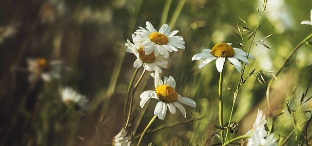 Kamille anpflanzen