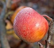 Winterapfel Obst Baum Frost