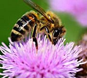Bienenfreundliche Stauden