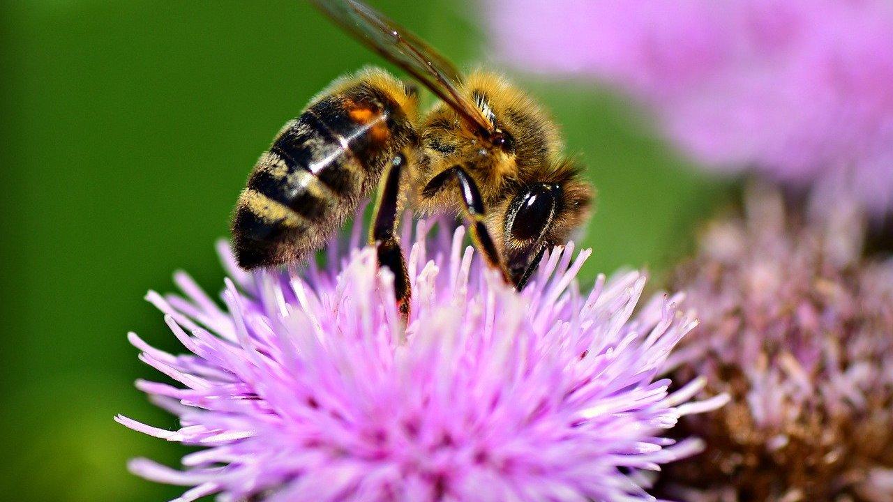 Bienenfreundliche-Stauden-Die-sch-nsten-Pflanzen-f-r-deinen-Garten