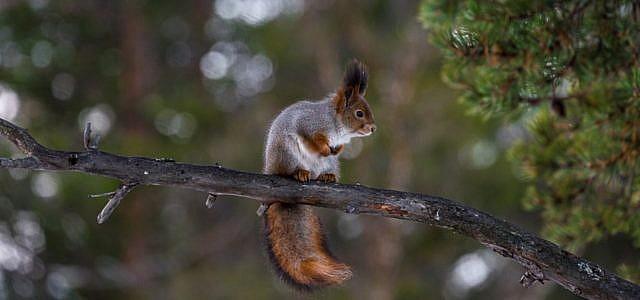 Eichhörnchen Winterschlaf