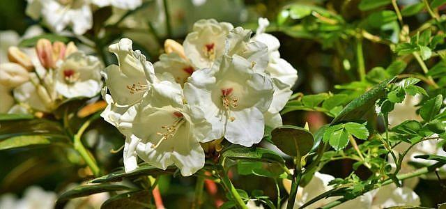 Rhododendron Krankheiten