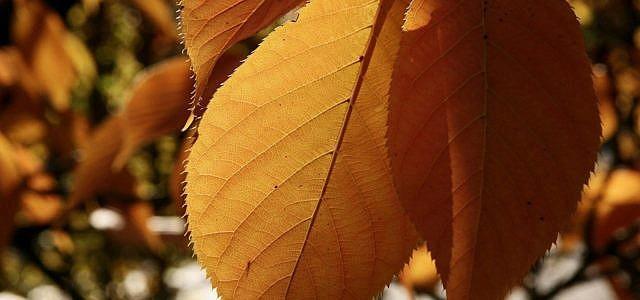 schrotschusskrankheit kirschbaum