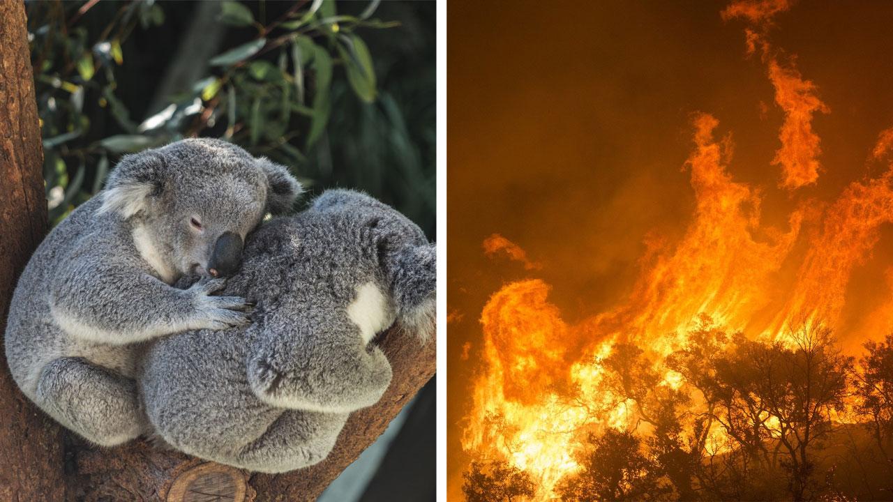 Wegen Feuer in Australien: Baby-Koalas, -Kängurus und 10.000 Kamele sollen getötet werden