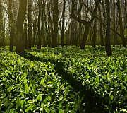 Bärlauch Saison Wald