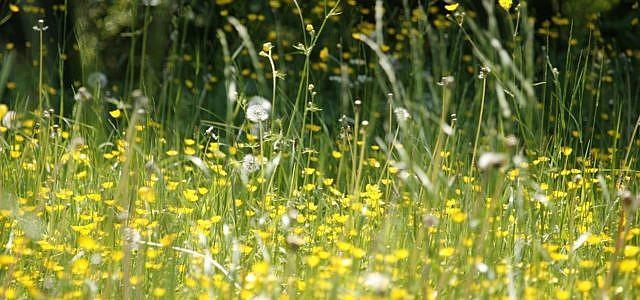 beifuß allergie wiese