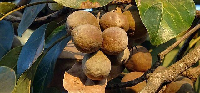 triphala kräuter indisch ayurveda amla