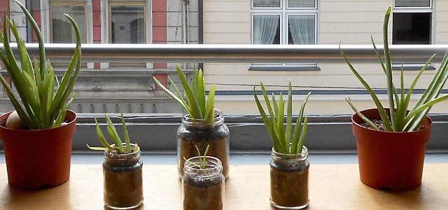 aloe vera anpflanzen