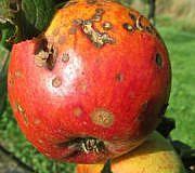 Apfelschorf erkennen und umweltschonend bekämpfen