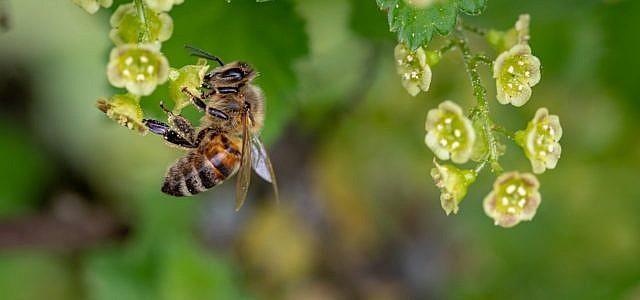 Bienenfreundliche Sträucher