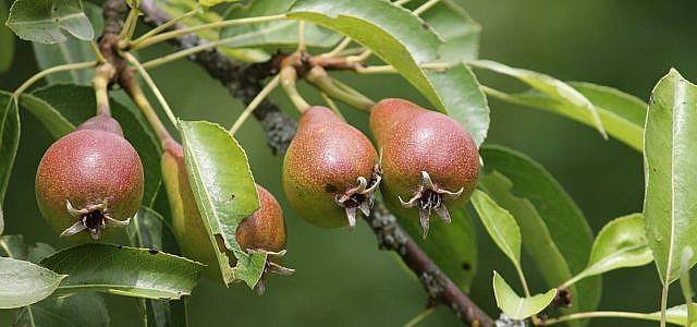 Obstbaum pflanzen: Die heimische Birne eignet sich wunderbar als Obstbaum im Garten