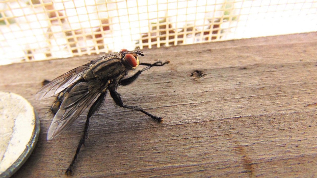 Fliegen vertreiben: die besten Hausmittel gegen Stubenfliegen