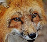 Fuchs als Haustier