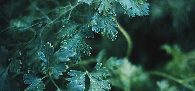 Liebstöckel – oft auch Maggikraut genannt