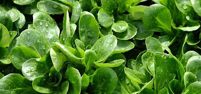Feldsalat gesund
