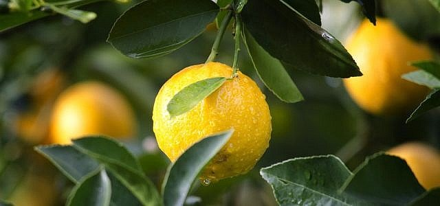 Zitronen aufbewahren