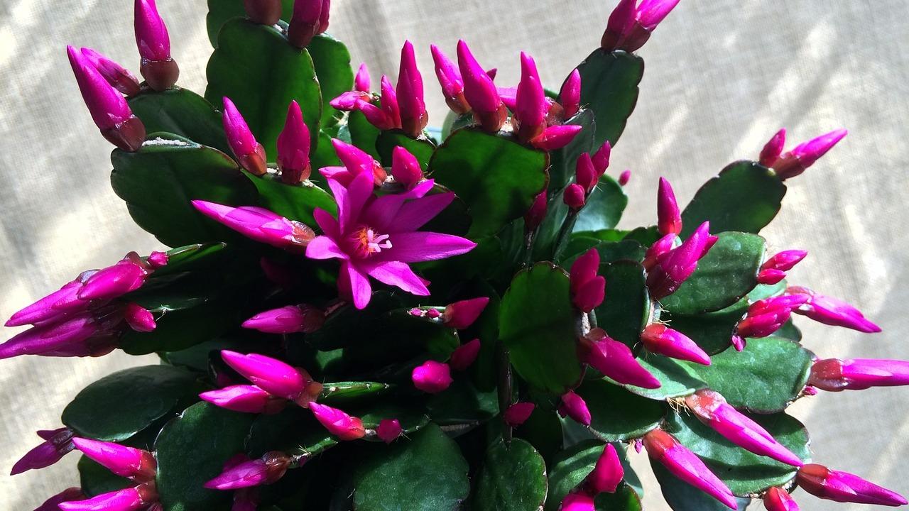 Weihnachtskaktus-pflegen-5-Tipps-f-r-eine-gesunde-Pflanze