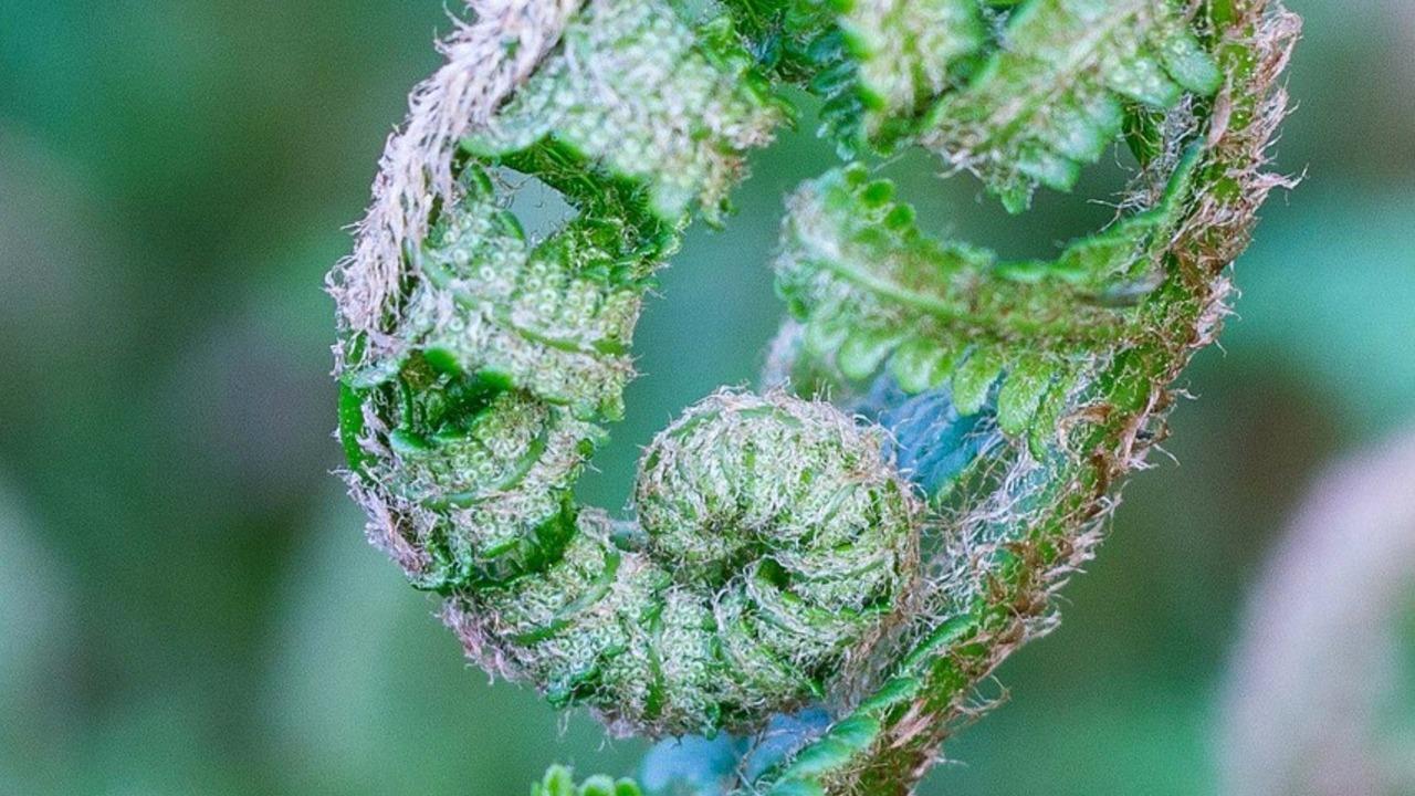 Waldfrauenfarn-Pflegeleichte-Pflanze-f-r-schattige-Pl-tze