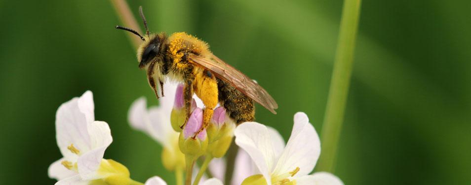 REWE Wildbienen Schutz Fakten
