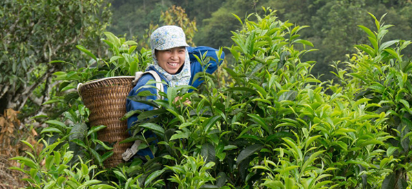Pukka nachhaltiger Tee