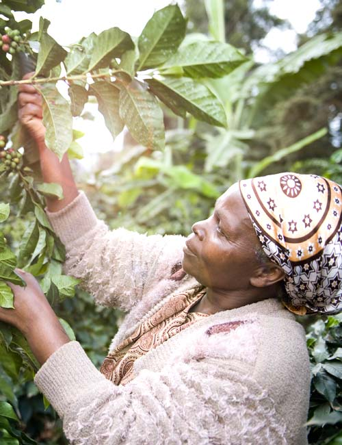Nachhaltige Kaffeeernte Tchibo