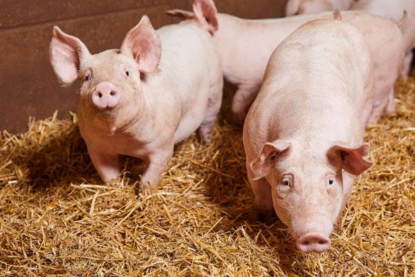 Tierwohl Transparenz bei Kaufland Schweine